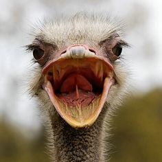 Ostrich funny faces on pinterest ostriches emu and dog photos
