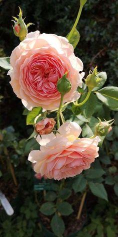 William Morris, William William, Different Flowers, Pretty Flowers, David Flowers, Purple Flowers, Beautiful Roses, Beautiful Gardens, Roses David Austin