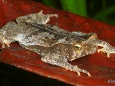 Leaf-litter toad mimics the forest floor