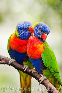 rainbow birds photos - Google Search