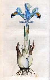 Cycle 2 Week 14 Fine Arts - Iris persica Carl Linnaeus, botanist and zoologist. Illustration Botanique, Plant Illustration, Botanical Flowers, Botanical Prints, Iris Drawing, Botanical Drawings, Trees To Plant, Flower Art, Nature