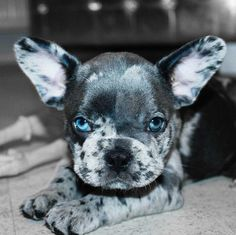 Blue Merle French Bulldog Puppy