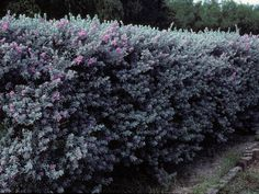 Texas Sage - Great and hearty shrub that grows 3 to 8 feet high. Leucophyllum_Frutescens_Texas_Sage_Native_Landscaping_Austin_Purple_Sage