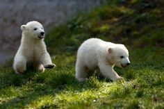 Twin polar bear cubs Nela and Nobby play outside their enclosure at Tierpark Hellabrunn zoo in Munich, April 7. (Michael Dalder/Reuters)