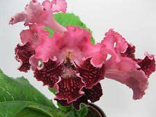 Image result for Streptocarpus 'Dem'