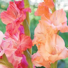 Gladiolus-PlantingGuide_652899a5-f8ae-4a58-9ace-8b74bdd49598.jpg (995×995)