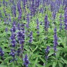 Deep lavender blue-like flowers which form spire upon spire of neat foliage which doesn't get floppy like lavender. Keeps a neat and natty flower display in your flower garden.