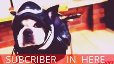 DOG WEARING FUNNY COSTUMES I FUNNY DOGS WEARING COSTUMES COMPILATION 2015