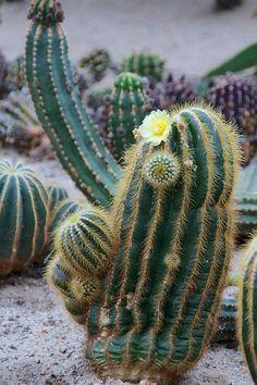 Cactus in de Cactus Oase