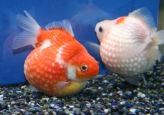 20 Types of Goldfish for Aquarium (Oranda, Shubunkin, Bubble Eye, Etc) Goldfish Tank, Colorful Fish, Tropical Fish, Colorful Animals, Aquariums, Koi, Lionhead Goldfish, Comet Goldfish, Exotic Fish