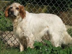 """DAKOTA è un dolcissimo esemplare di setter inglese. Come molti altri cani della sua razza è piuttosto timido e timoroso. Ha circa 7 anni. Non ama la caccia e teme gli spari. Nonostante ciò è un cane molto allegro. Accetta ben volentieri le carezze purché siano fatte con calma e tranquillità e sicuramente non disdegna i biscottini, con cui si """"corrompe"""" facilmente! E' un cane molto docile e buono, anche con i suoi simili a cui spesso si sottomette."""