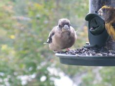 Baby Evening Grosbeak with his Daddy at the bird feeder