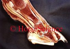 Acute foundered hoof from the Hoof Images Photo CD http://www.hoofprints.com/Hoof-Images-Photo-CD/productinfo/HSCD/