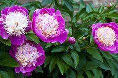 peony flower | japanese peony flower , Peony Flowers