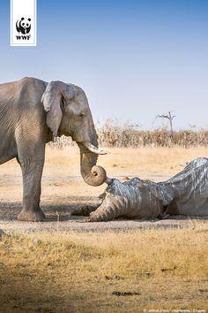 Elefanten - Gedächtnis via @WWF_Deutschland