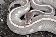 Mystic Mojave Ball Python (Python regius)