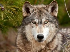 Wolf close up.