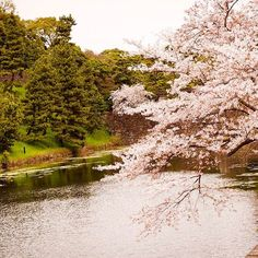 【hx_g94】さんのInstagramをピンしています。 《收听浓烟下的诗歌电台  #japan #tokyo #osaka #sakura #flowers #ig_japan #ig_myshot #ig_flowers #ig_travel #travel #travelphotography  #photography #warm #pink #oldphoto #oldpic #retro #trees #사쿠라 #꽃 #桜の花 #桜 #memory #park #shots #river #nature #naturephotography #ig_nature》