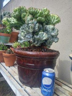 Euphorbia lactea cristata variegated By Adam Dixon-