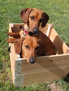 4 get a box of chocolates... it is a box of dachshunds..thank U..nice couple of doxies in a box