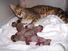 Rexano exotic big cat feline gallery pet African serval savannah hybrid kittens I Love Cats, Big Cats, Crazy Cats, Cool Cats, Weird Cats, Savannah Kitten, Savannah Chat, Serval Cats, Herding Cats