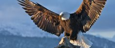 INTERMEDIATE (grade 4): Bald Eagle Conservation Is An Amazing Success Story As Birds Thrive In Chesapeake Bay.