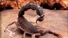 Black Spitting Thick Tail Scorpion