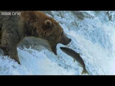 HD: Grizzly Bears Catching Salmon - Nature's Great Events: The Great Salmon Run - BBC One I know they have to chew the fish but I had to pin it. Salmon Run, King Salmon, Bear Hunting, Turkey Hunting, Kids Book Club, Salmon Fishing, Bbc One, Science, Nature