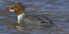 Common Merganser female