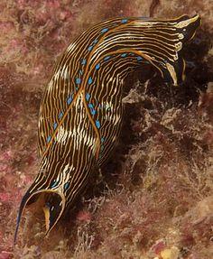Navanax inermis: a carnivorus sea slug (Nudibranch) Weird Sea Creatures, Ocean Creatures, Underwater Creatures, Underwater World, Aquatic Ecosystem, Sea Slug, Deep Blue Sea, Rare Animals, Amazing