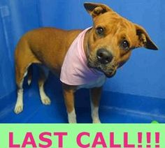 Urgent Dogs of Miami · BELLA (A1681619)I am a female brown and white Terrier mix. The shelter staff think I am about 3 years old and I weigh 54 pounds. I was found as a stray and I may be available for adoption on 02/27/2015. https://www.facebook.com/urgentdogsofmiami/photos_stream?ref=page_internal