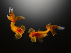 Goldfish red and white and sunflowers on pinterest for Toni fish realty