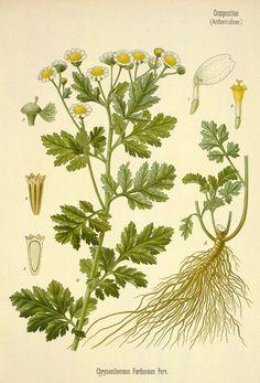 La Matricaria, una planta medicinal que reduce la fiebre, mejora la digestión y la artritis reumatoide   ECOagricultor