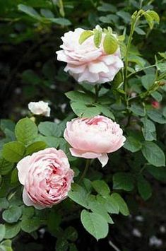Constance Spry - Rose 2014 - The Antique Rose Emporium