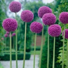Breck's Gladiator Allium Bulbs (1-Pack)-70583 - The Home Depot Deer Resistant Annuals, Tulip Season, American Meadows, Wonderful Flowers, Replant, Bulb Flowers, Allium, Garden Planning, Amazing Gardens