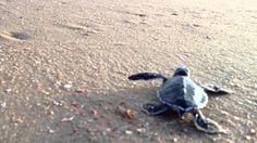 Leatherback baby sea turtles