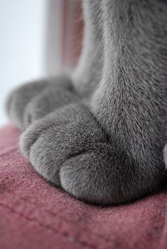 Russian Blue Cats Kittens The fog comes on little cat feet. It sits looking over harbor and city on silent haunches and then moves on. Carl Sandburg - Cuz I think cat paws are friggin cute. Beautiful Cats, Animals Beautiful, Cute Animals, Wild Animals, Baby Animals, Cat Paws, Dog Cat, Pet Pet, Image Chat