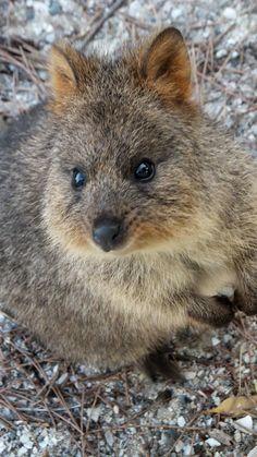 Vanessa Clark - Quokka on Rottnest Island, WA, Australia.