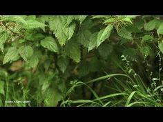 Dlaczego warto pić napar z pokrzywy? Herbs, Youtube, Herb, Youtubers, Youtube Movies, Medicinal Plants