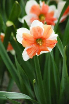 """Narcissus Electrus :: Brent and Becky's Bulbs Electrus - an extremely colorful daffodil registered as a 'white and pink'; each segment of the split cup is folded back on the white petals high-lighting the intense coral pink of the cup; a real eye catcher! 16/18cm; 14""""-16""""; mid spring."""