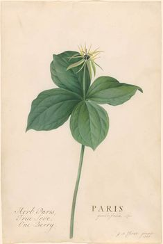 Georg Dionysius Ehret | Paris quadrifolia Linn: Herb Paris | Drawings Online | The Morgan Library & Museum