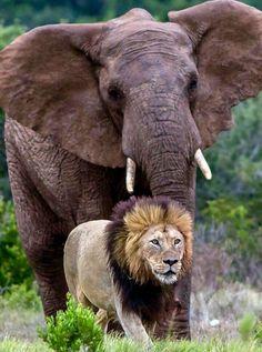FASCINATING DIVINE FRIENDS. Photo Elephant, Bull Elephant, Elephant Park, Elephant Love, Nature Animals, Animals And Pets, Baby Animals, Funny Animals, Cute Animals