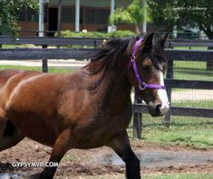 Gypsy Vanner Horses for Sale | Mare | Bay Mare