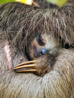 Three Toed Sloth : Close up view of a Brown throated sloth sleeping, Costa Rica. Cute Baby Sloths, Cute Sloth, Cute Baby Animals, Baby Otters, Cute Creatures, Beautiful Creatures, Animals Beautiful, My Spirit Animal, My Animal