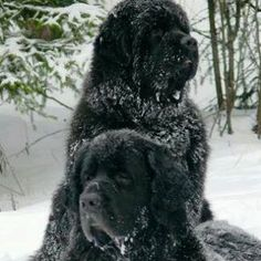 Newfy's in the snow...