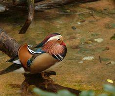 Mandarin Drake, taken at Disney's Animal Kingdom