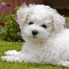 bichon frise Puppy by Cuzza28