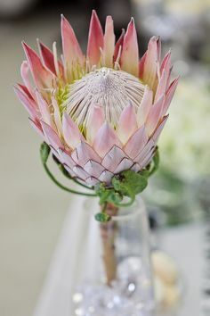 King Protea are often used for wedding bouquets and table decorations, and they look stunning! A great idea to add some greenery to your wedding reception. Protea Wedding, Wedding Bouquets, Wedding Flowers, Protea Art, Protea Flower, Mosaic Wedding, King Protea, Australian Plants, Wedding Company