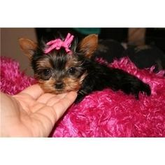 Yorkie Puppies For Adoption, Yorkie Puppy, Mini Puppies, Teacup Yorkie, Yorkshire Terriers, Yorkies, Tea Cup, Homes, Future