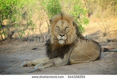 Find Male Lion Sitting stock images in HD and millions of other royalty-free stock photos, illustrations and vectors in the Shutterstock collection. Thousands of new, high-quality pictures added every day. Lion Profile, Lion Book, Male Lion, Photo Editing, Royalty Free Stock Photos, Illustration, Artist, Animals, Google Search